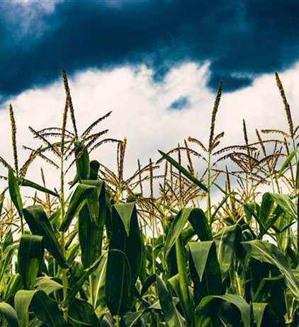 Illinois corn, soybean production drops by roughly 20 percent