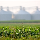 Central Illinois leads corn and soybean production as numbers decline across state